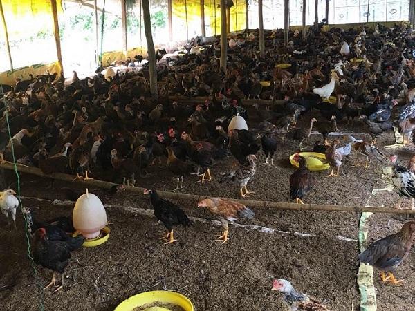 N-Kỹ thuật chăn nuôi gà thả vườn theo hướng an toàn sinh học