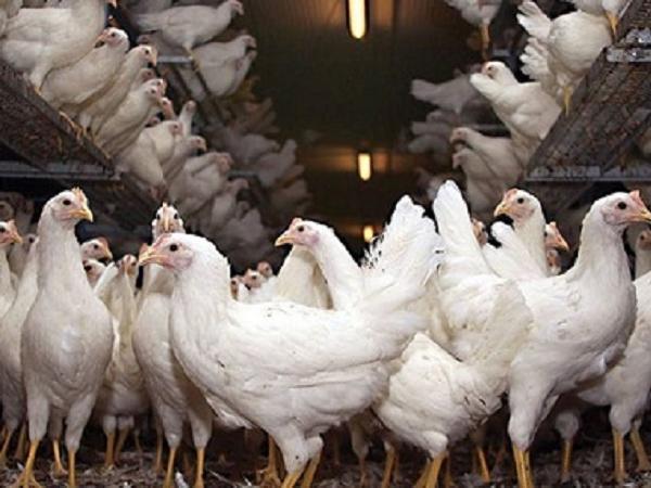 N-6 giải pháp nâng cao năng suất trứng ở gà đẻ