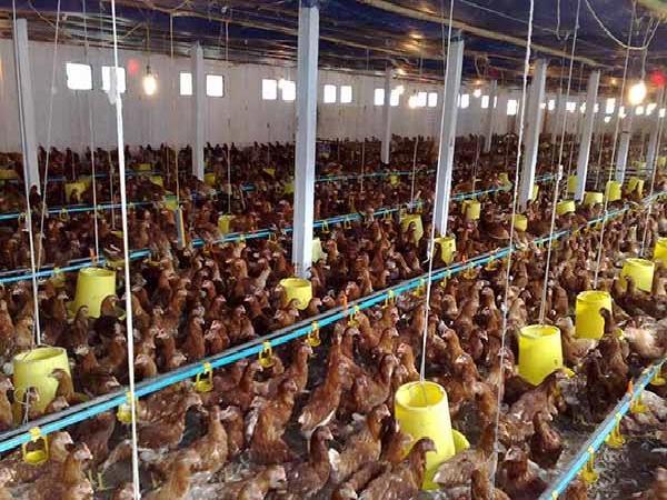 Cảnh báo: Tổng hợp một số bệnh trên gia súc, gia cầm trong mùa đông