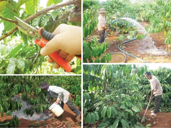 CS-Kỹ thuật chăm sóc cà phê sau thu hoạch