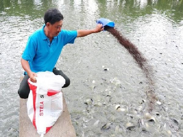 Sản xuất cá tra tự phát mặc khuyến cáo của chính quyền địa phương