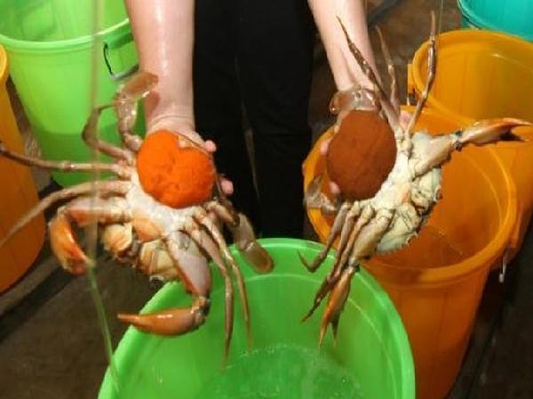 Thu hoạch cua biển, người dân được mùa kép