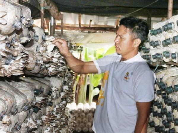 Trồng nấm bào ngư xám lãi hơn 1 triệu đồng/ngày