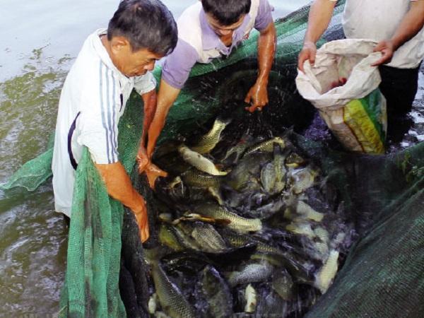 NT-Kỹ thuật nuôi cá chép V1