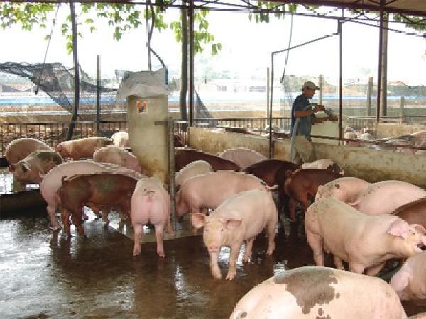 N-Quy chuẩn trại chăn nuôi heo an toàn sinh học