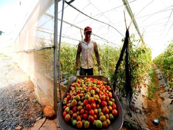 'Thủ phủ' cà chua Việt Nam thiệt hại hàng tỉ đồng vì cây giống rita giả