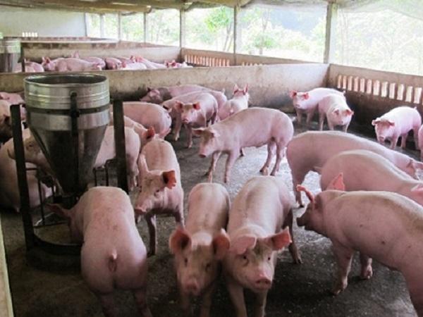 Tự chế biến thức ăn, nuôi lợn khép kín, lãi 2 tỷ đồng/năm