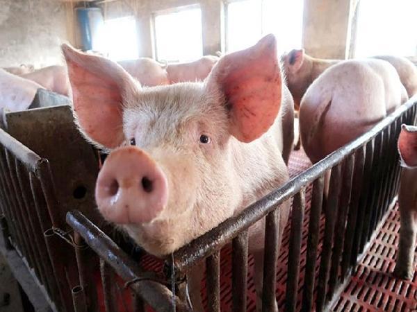 Hơn 979 nghìn con lợn bị chết vì tả châu Phi; Trung Quốc cấm nuôi lợn