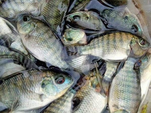NT-4 cách nuôi ghép cá rô phi và tôm thẻ chân trắng