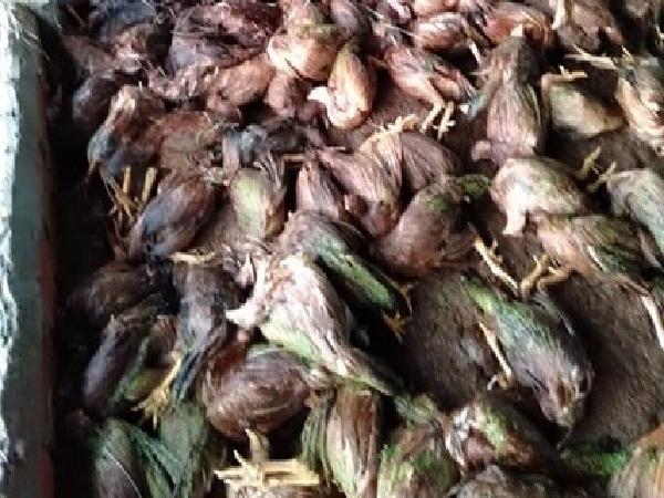 Xót xa cảnh hằng trăm ngàn con gà nuôi bán tết 'chết chìm'
