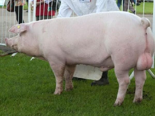 CB-Bốn bệnh lý sinh sản thường gặp ở lợn đực giống