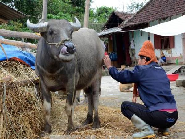 Luật mới: Cấm đánh đập trâu bò, không để vật nuôi chứng kiến cảnh đồng loại bị giết