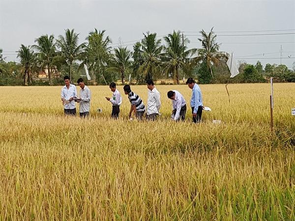 Dịch rầy nâu bùng phát khi lúa vào thời kì làm đòng sẽ gây thiệt hại lớn