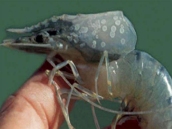 Khuyến cáo ngưng thả giống tôm biển cuối năm 2018 vì dịch đốm trắng