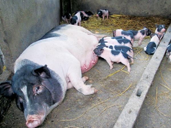 N-Một số giống lợn nội của Việt Nam (P1)