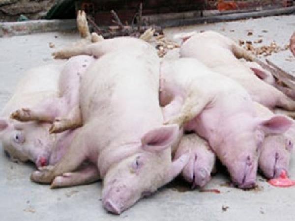Nghi lở mồm long móng, 240 con lợn bị tiêu hủy