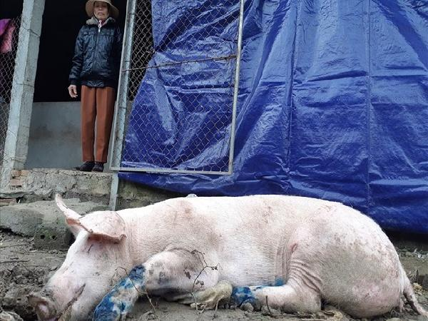 Lợn bị ghép bệnh LMLM, dân tự chạy chữa mà không thấy bóng dáng thú y viên.