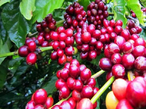 Thị trường nông sản đầu tuần: Giá cà phê tăng nhẹ