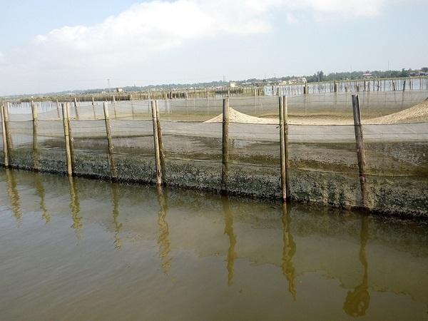 NT-Lưu ý khi nuôi ghép cá trắm với cá rô phi trong lồng ở vùng đầm phá