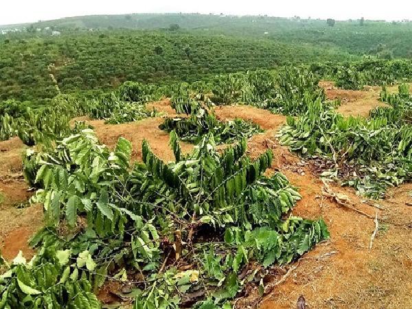 Gần 100 cây cà phê đang sắp thu hoạch bị chặt hạ nhẫn tâm trong đêm