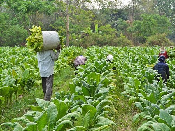 CS-Kỹ thuật trồng và chăm sóc cây thuốc lá