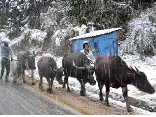 Hơn 100 con trâu, bò đã chết rét tại tỉnh Cao Bằng