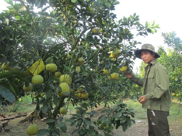 Thu 500 triệu đồng/năm nhờ chuyển đất ruộng sang trồng cây ăn quả