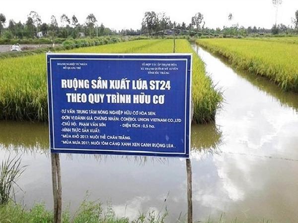 Giá lúa hữu cơ cao ngất ngưởng, nông dân thu về 3 – 3,5 triệu đồng/ha