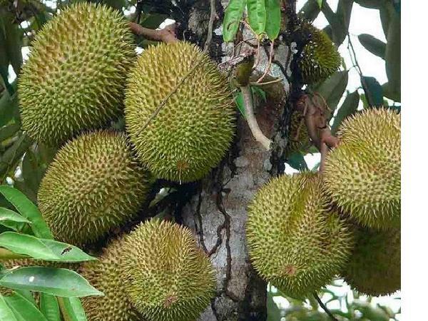 """Khuyến cáo rủi ro khi trồng giống sầu riêng """"ngon nhất thế giới"""" - Musang King"""