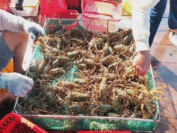 Phát huy tốt ưu điểm của giống tôm hùm, nông dân được mùa được giá