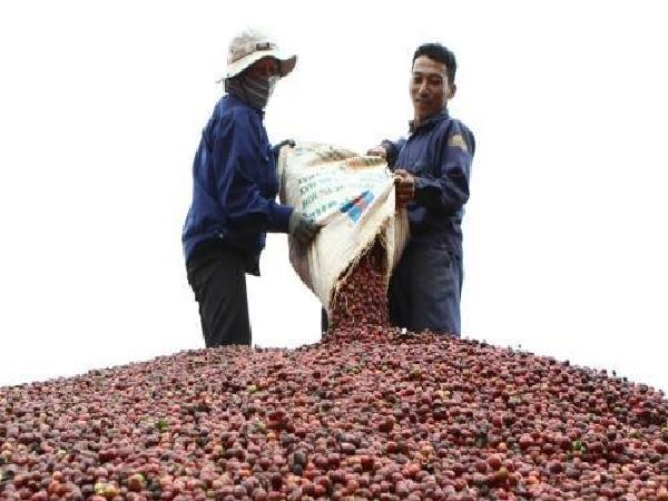 Cà phê Việt đổ bộ vào thị trường Algeria, hướng đến vị trí số 1