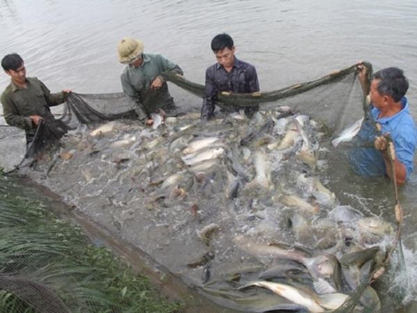 NT-Kỹ thật nuôi cá trong ao nước tù đạt hiệu quả cao