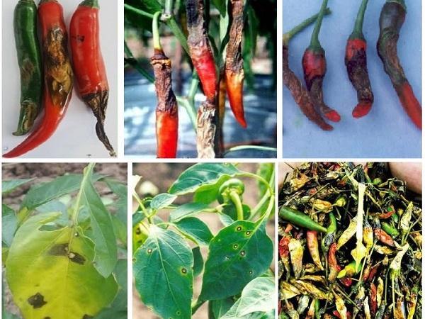 CB-Phòng trừ bệnh thán thư trên ớt
