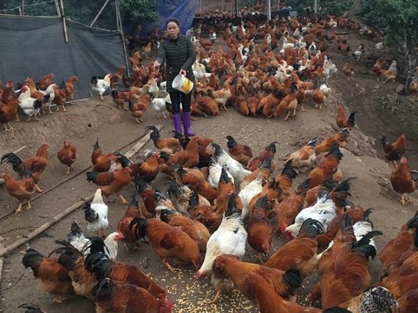 Chi phí thấp, lãi cao khi nuôi gà trống thiến bán tết