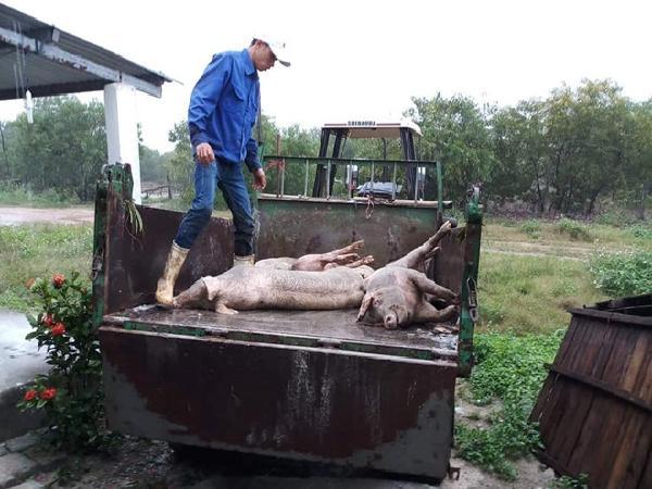 Xử phạt nghiêm doanh nghiệp nuôi lợn giấu dịch