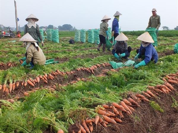 Hàng ngàn ha cà rốt vẫn 'phơi đồng', vắng tanh thương lái thu mua