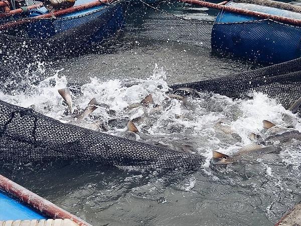 CB-Các bệnh thường gặp trên cá nuôi lồng, bè tại một số tỉnh miền Bắc và biện pháp phòng, trị (kỳ 2)