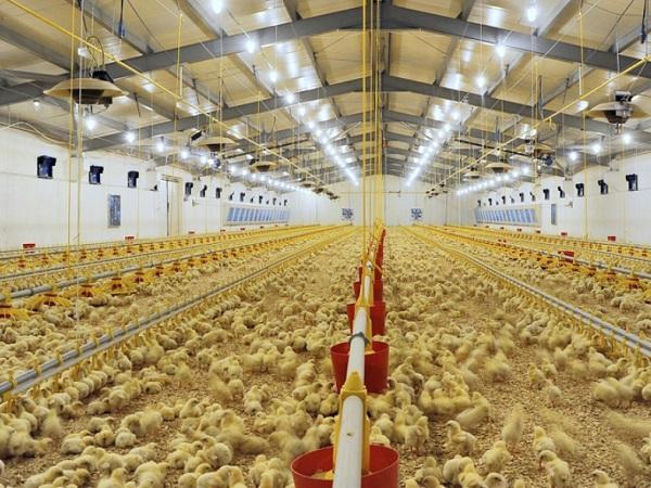 N-Ưu điểm vượt trội của chiếu sáng LED trong chăn nuôi gia cầm