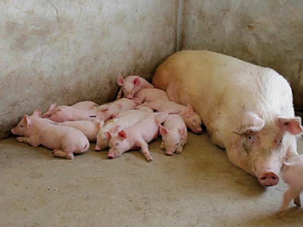 N-Biện pháp nâng cao số lứa đẻ/năm cho lợn nái