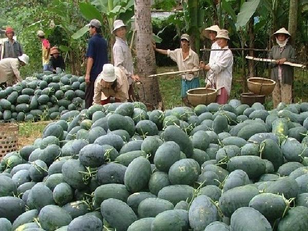 Trung Quốc trồng dưa hấu quy mô lớn, cảnh báo cho nông dân Việt Nam