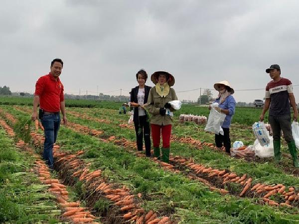 Hơn 100 tấn cà rốt Hải Dương sẽ được BigC tiêu thụ