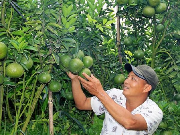 Vườn cam sành bạc tỷ trên đất Lâm Đồng