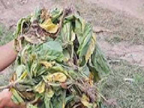 Hàng trăm cây thuốc lá bị chết do mưa và nấm
