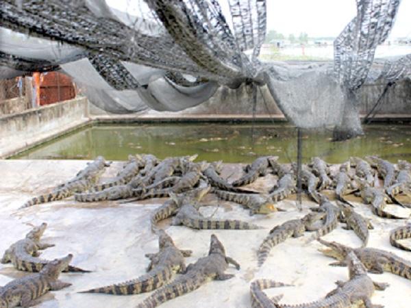 Nuôi cá sấu, nông dân 8X thu nhập 2 tỷ/năm