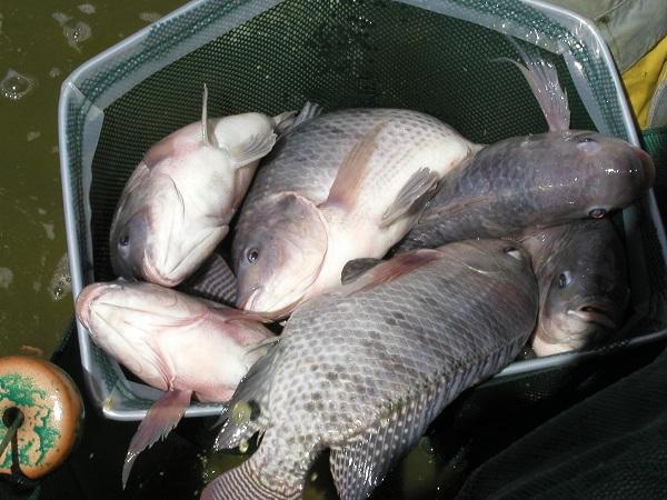 NT-Độ pH lý tưởng để nuôi cá rô phi