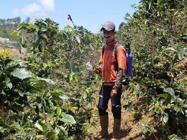 Ứng phó bọ xít muỗi tấn công cà phê đặc sản Arabica