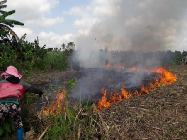 Nông dân đốt bỏ mía vì không tìm được đầu ra