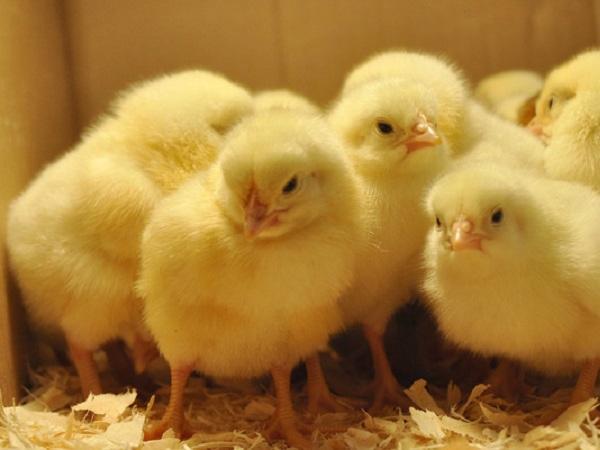 N-Những tiêu chí chọn gà giống hiệu quả