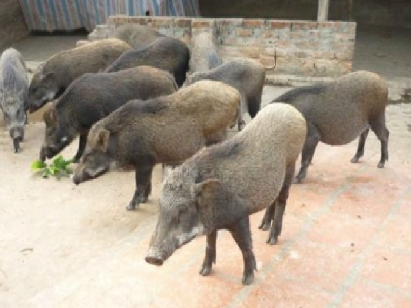 Phát hiện đàn lợn rừng dính tả lợn châu Phi ở Hà Nội