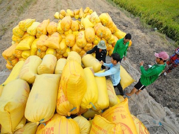 Hơn 7 triệu tấn lúa ở ĐBSCL cần tiêu thụ gấp, Thứ trưởng đề xuất đưa thương lái vào chuỗi